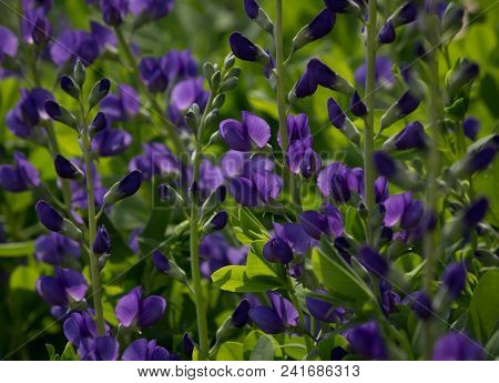 Beautiful Blue Wild Indigo Blossoms In A Natural Green Environment