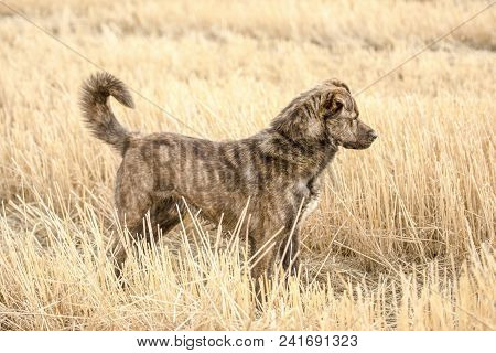 Brown Mongrel In The Field In Spring Day