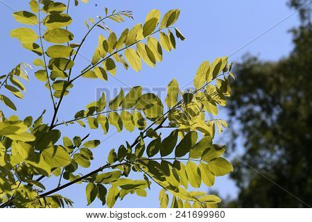 Spring Foliage In The Trees / Young Foliage In The Sun