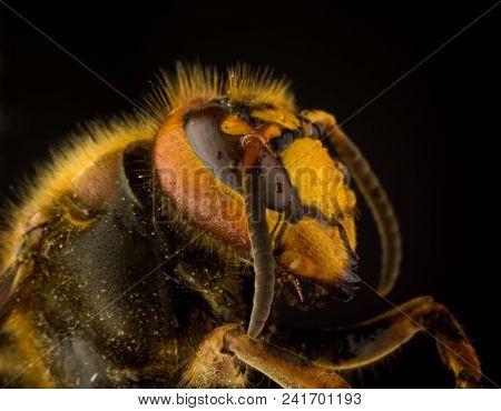 Profile Of European Hornet (vespa) On Black Background, Extreme Close Up