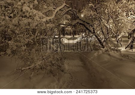 Trees In The Park After A Heavy Snowfall.