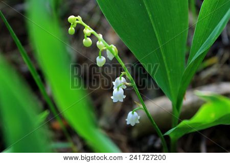 Lilies of the valley in the grass. White lilies of the valley. May lilies of the valley bloom in the forest. The woods in the spring. Forest glade. Green forest. Walk in the forest