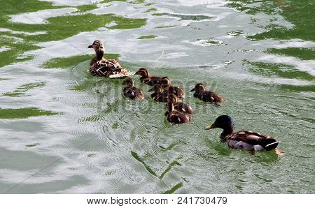 View A Duck Mom With His Offspring