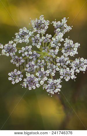 Hemlock Or Poison Hemlock (poison Parsley, Spotted Corobane, Spotted Hemlock), Poison  Biennial Herb