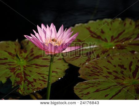 A bee having lunch inside a water lily poster