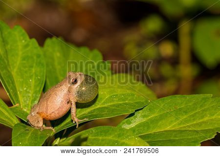 Northern Spring Peeper Calling From The Edge Of A Vernal Pool In Connecticut.