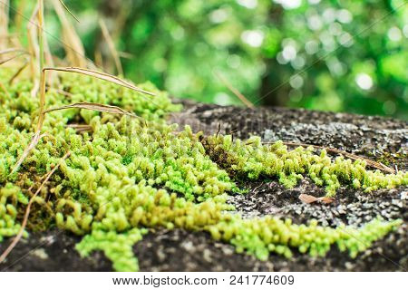 Moss-covered Stone. Beautiful Moss And Lichen Covered Stone. Bright Green Moss Background Textured I