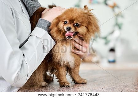 Happy Female Veterinarian With Pomeranian Spitz In Vet Clinic