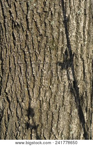 Background, Texture - Sunlit Tree Bark Poplar With Shadows From Young Twigs