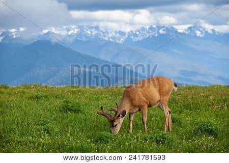 Grazzing Deer On Huricane Ridge In Washington, Usa