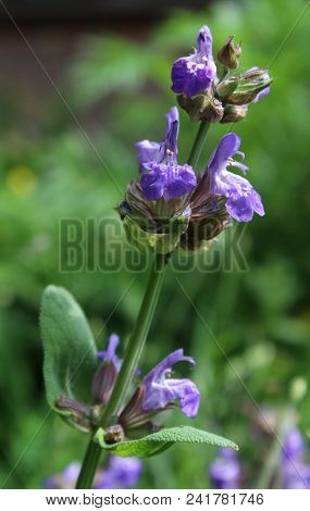 The Emerging Flower Buds Of The Herb Salvia Officinalis, Also Known As Garden Sage, Or Common Sage,