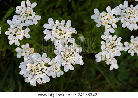 Small White Flowers Evergreen Flower Circling Iberis Sempervirens, Belongs To The Family Brassicacea