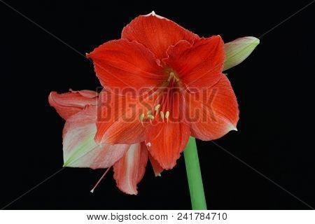 Close-up Of Red Apricot Amaryllis Flower On The Black Background