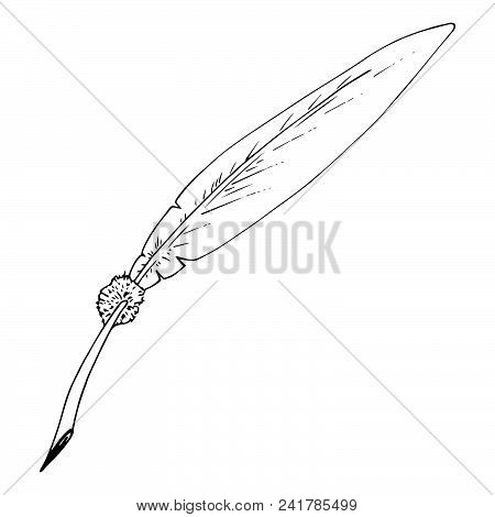 Feather Of A Bird. Vector Illustration Of A Feather For Calligraphy. Hand Drawn Feather.