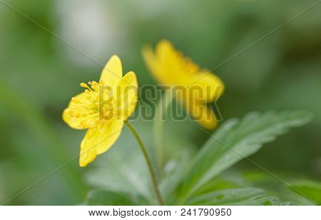 Closeup Of A Yellow Wood Anemone Flower. Latin Name: Anemone Ranunculoides