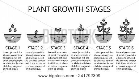 Plant Growth Stages Infographics.  Monochrome Line Art Icons. Planting Instruction Template. Linear