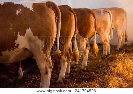 Cows In Row In Sty Indoors, Cattle Breeding Concept, Livestock, Farm Animals.