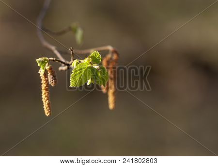 Aspen Catkin At The Sun In The Spring