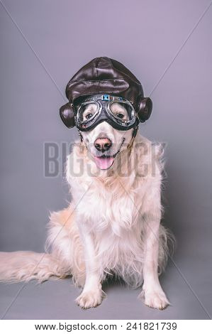 White Golden Retriever With Vintage Aviator Helmet And Goggles Against A Grey Seamless Background