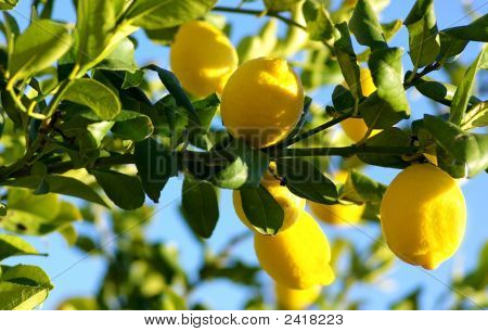 Lemons Growing On Lemon Tree