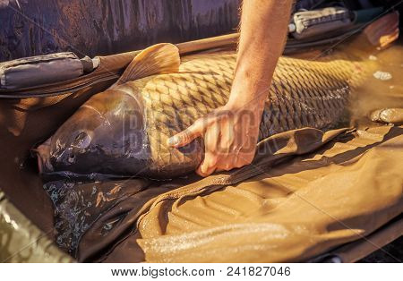 Hand Hold Alive Carp In Wet Basket Stretcher. Big Fish Catch In Water On Sunny Day. Carp Fishing, An