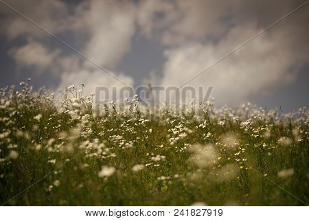 Spring Chamomile Field, Natural Herbal Treatment. Summer Vacation, Nature. Chamomile Flower, Nature
