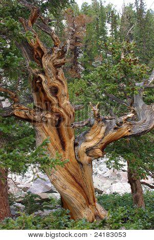the bristlecone pine