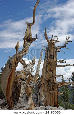 the bristlecone pines