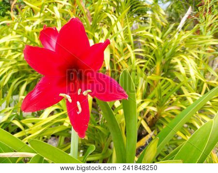 Amaryllis Red Flowers Color With Opal Rose. Ornamental Plants  Tropical.