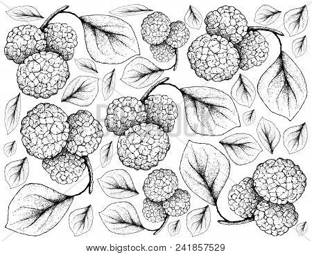 Tropical Fruits, Illustration Wall-paper Of Hand Drawn Sketch Fresh Sweet Chinese Mulberries Or Moru