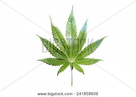Marijuana Leaf. Cannabis plant leaf isolated on white.