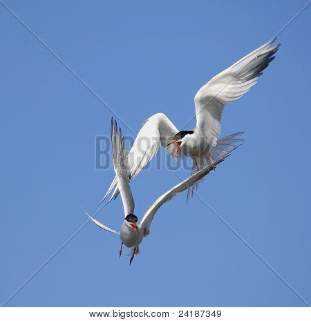 Common Tern (Sterna Hirundo) in flight. Suho Island in Ladoga Lake poster