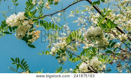 Robinia Pseudoacacia Or False Acacia With Blooming White Flowers In Spring Time, Green Tree Locust C