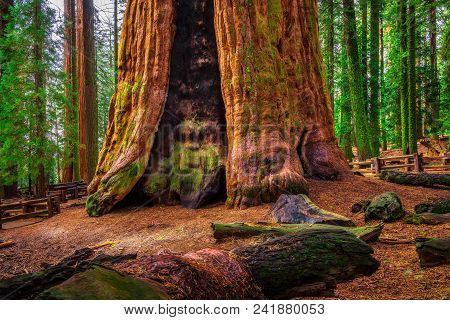 Ancient General Sherman Tree In Sequoia National Park, California. This Tree Is The Largest Known Li