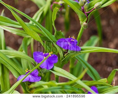 Several Violet Widow's Tears Blooms In The Early Morning Light