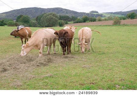 Cows  In The Pasture.