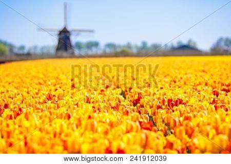 Tulip Fields And Windmill In Holland, Netherlands. Blooming Flower Fields With Red And Yellow Tulips