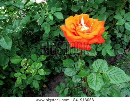 A Single Stem Of A Rose With A Large Orange Amazing Flower Of A Classic Shape. Green Natural Floral
