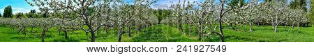 Panoramic View Of An Apple Orchard In Bloom