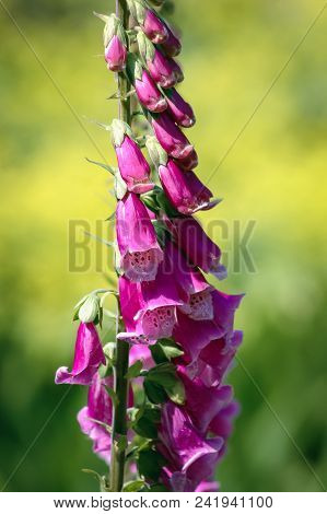 Digitalis Purpurea Plant In The Garden, Commonly Known As Common Foxgloves