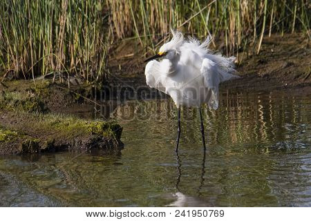 Great White Egret At Prime Hook National Wildlife Reserve In Delaware Shakes Out Its Plumage.