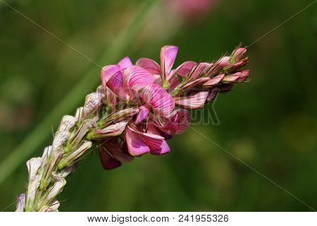 Close-up Of Pink Wild Flower On The Green Background Summer Meadow. Macro Photography Of Nature.