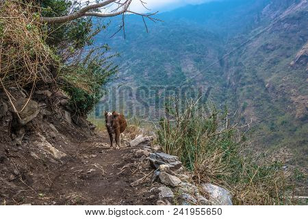 Cow On A Mountain Trail In The Himalayas.