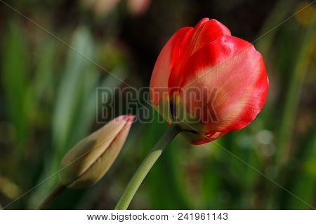 Close-up Of Of Spring-blooming Red Tulip Flower In The Garden. Macro Photography Of Nature.