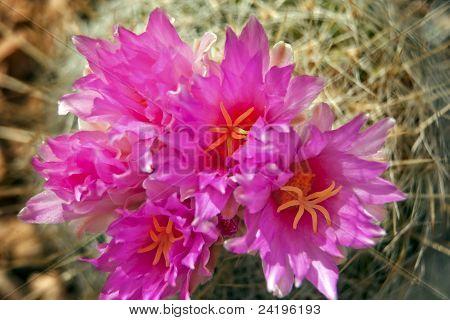Pink Cactus Flowers Sonoran Desert Phoenix Arizona