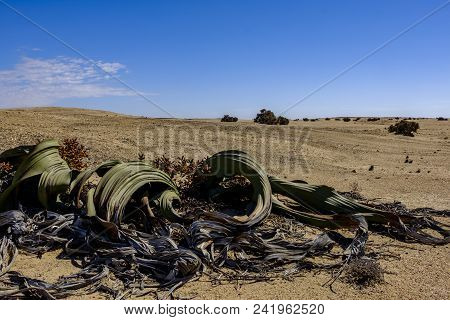 Male Welwitschia Mirabilis Plant, Named After The Austrian Botanist And Doctor Friedrich Welwitsch,