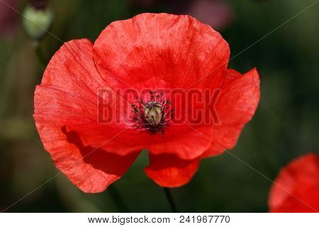 Close-up Of Of Red Papaver Rhoeas (red Poppy) Flower On The Summer Field. Macro Photography Of Natur