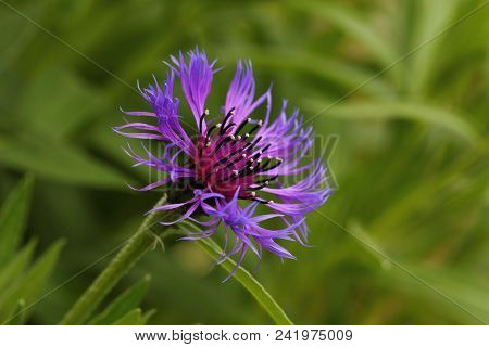 Close-up Of Blue-lilac Cornflower (centaurea Cyanus) On The Summer Field. Macro Photography Of Natur