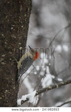 Red-bellied Woodpecker Works Around Trunk Of Apple Tree With Fresh Snowfall.