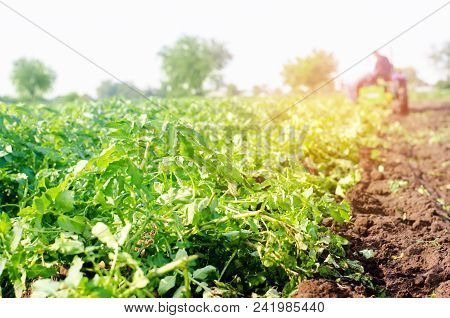 Farmer On The Tractor Works In The Field, Harvesting Of Potatoes, Manual Labor, Farming, Agriculture